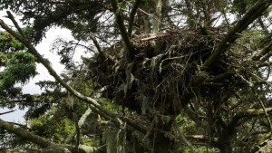 A large eagle's nest sits in a Sitka spruce tree on Five Finger Lighthouse island in SE Alaska.