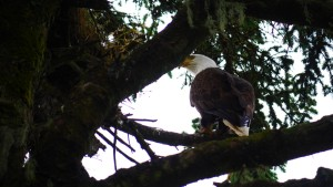 Eagle looks into nest on Five Finger Lighthouse Island, Alaska.